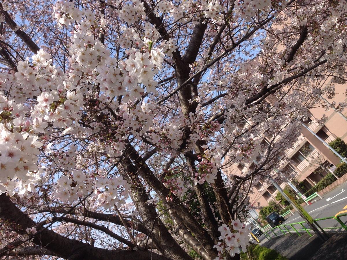 2016331桜2