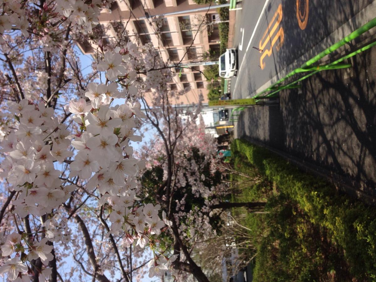 2016331桜3