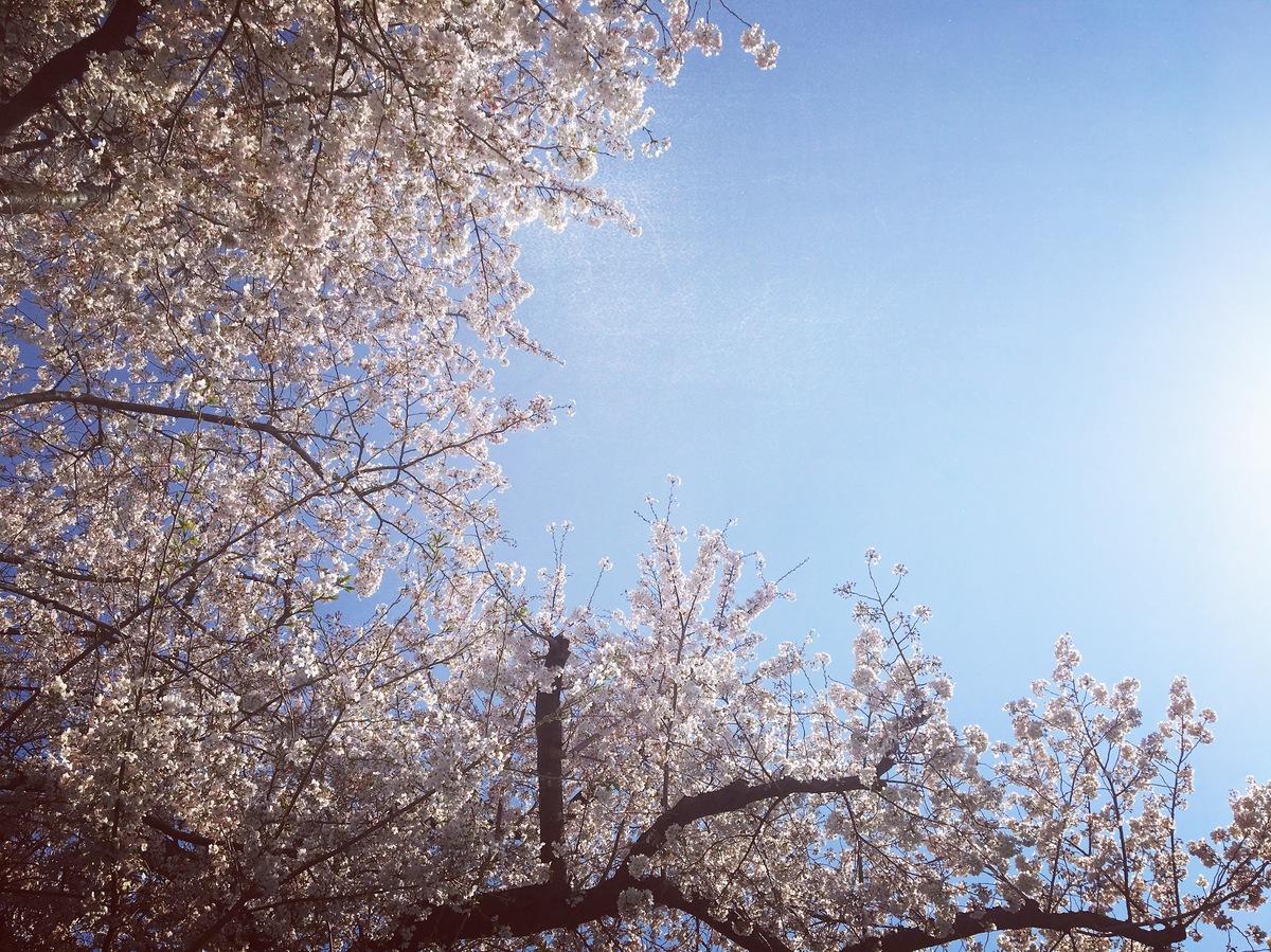 201946桜